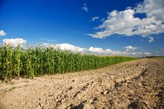 Cornfield crop and plowed soil Royalty Free Stock Image