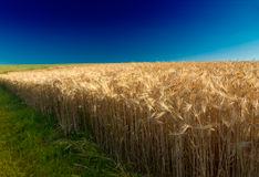 Cornfield with deep blue sky in Pfalz, Germa Stock Image