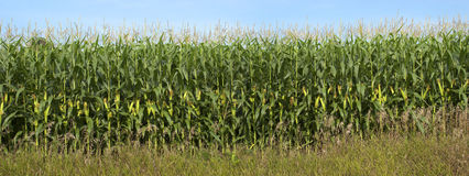 Cornfield Detail Banner Panorama, Corn Stalks. Detail of cornfield. You can see the stalks with ears of corn almost ready for picking. Panoramic banner gives a royalty free stock image