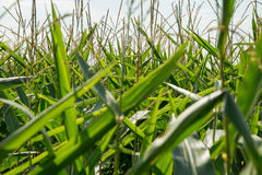cornfield detail Royalty Free Stock Photography