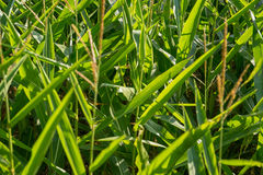 Cornfield detail Stock Images