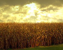 Cornfield at dusk. In autumn Stock Photos