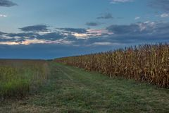 Cornfield at Dusk Royalty Free Stock Photography