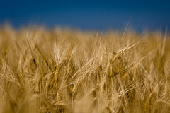 Cornfield. Ears of Barley in detail with blurred background and blue sky Royalty Free Stock Photography