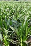 Cornfield  farm agriculture corn Stock Image