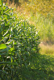 Cornfield [farm collection] Royalty Free Stock Images