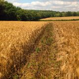 Cornfield. A cornfield with a farmers track going into the distance Stock Photography