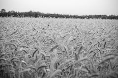 Cornfield. Farming agriculture yield royalty free stock images