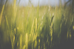 Cornfield. Farming agriculture yield royalty free stock photography