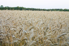 Cornfield. Farming agriculture yield stock photo