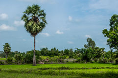 Rice Field and sugar palm Stock Image