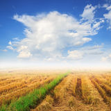 Cornfield and fog on blue sky background Stock Image