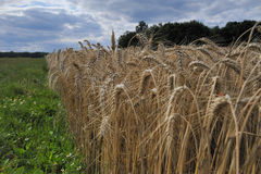 Cornfield - France. Cornfield close view in side - green grass and blue/cloudy sky complete the picture stock photos
