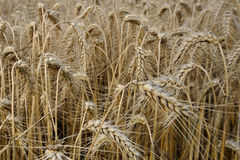 Cornfield - France. Cornfield close view fills all the picture royalty free stock photo