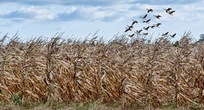 Cornfield and Geese. A flock of geese fly above a corn field Stock Photography