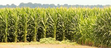 Corn field Glistening In the Evening Sun Royalty Free Stock Image