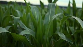 cornfield Graanstelen die op de wind slingeren stock video