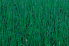 Cornfield green rice Stock Images