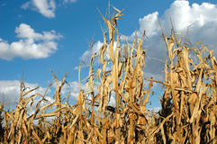 Cornfield at Harvest Stock Photography