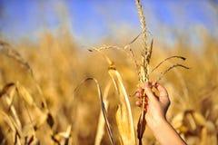 Cornfield harvest check in autumn Stock Image