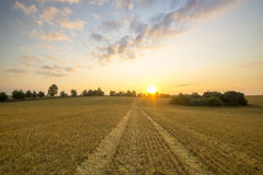 Cornfield after harvest Stock Images