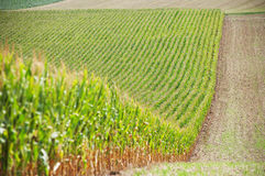 Cornfield on a hill. Harvested half on a sunny day royalty free stock photos