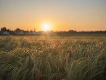Cornfield i solnedgången och by i bakgrunden royaltyfri foto
