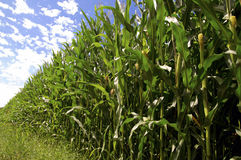 Cornfield iin Summer Stock Photos