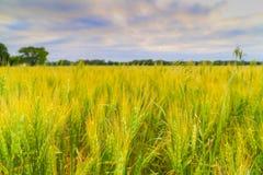 Cornfield in Kansas. Green ears of a cornfield near Mulvane in Kansas Stock Images