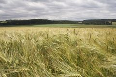 Cornfield in landscape. Cornfield in germany Stock Photography
