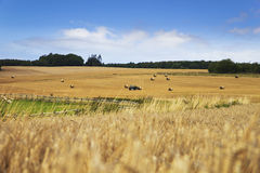 Cornfield landscape with haybales Stock Photography