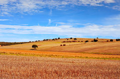 Cornfield landscape in the province of Soria, Spain Royalty Free Stock Photo