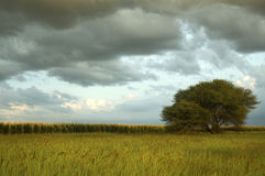 Cornfield landscape with thunder clouds Royalty Free Stock Photography