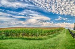 Cornfield in Late Summer Under Blue Sky Royalty Free Stock Photos