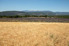 Cornfield and lavender fields near Sault and Mont Ventoux in the background. Provence,. France royalty free stock images