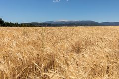 Cornfield and lavender fields near Sault and Mont Ventoux in the background. Provence. France stock images