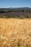 Cornfield and lavender fields near Sault and Mont Ventoux in the background. Provence,. France royalty free stock photos