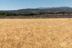 Cornfield and lavender fields near Sault and Mont Ventoux in the background. Provence,. France stock photos