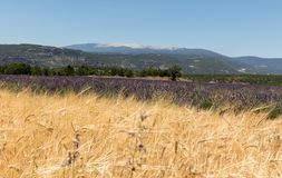 Cornfield and lavender fields near Sault and Mont Ventoux in the background. Provence. France stock image
