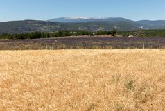 Cornfield and lavender fields near Sault and Mont Ventoux in the background. Provence,. France stock image