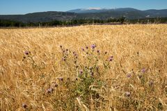 Cornfield and lavender fields near Sault and Mont Ventoux in the background. Provence. France stock photo