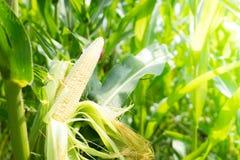 cornfield Le maïs n'est pas bien mûr photographie stock