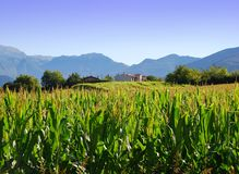 Cornfield in Lombardy, Italy Stock Images