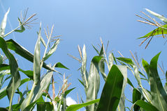 Cornfield from low perspective Royalty Free Stock Image