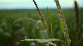 cornfield Maisstiele, die auf den Wind beeinflussen stock footage