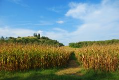 Cornfield by the Mantua Hills Royalty Free Stock Images