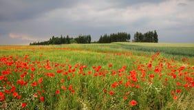 Cornfield med röda vallmo landskap i för bygden, tuscany Arkivfoton