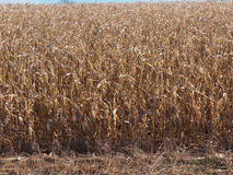 Cornfield (Medium Shot) Stock Photography