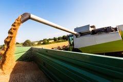 Cornfield met tarwe bij oogst Stock Afbeelding