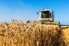 Cornfield met tarwe bij oogst Royalty-vrije Stock Afbeeldingen